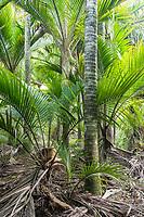 Nikau Palm coastal forest in Kohaihai near Karamea, Kahurangi National Park, Buller Region, West Coast, New Zealand