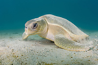 flatback sea turtle, Natator depressus, female, covering herself with sands for camouflage, endemic to the continental shelf of Australia