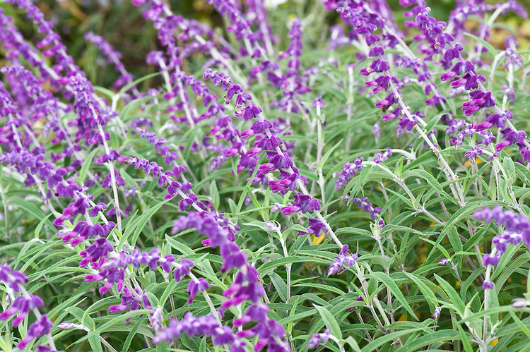 Salvia leucantha 'Midnight', early October. Also known as Mexican bush or Mexican sage.
