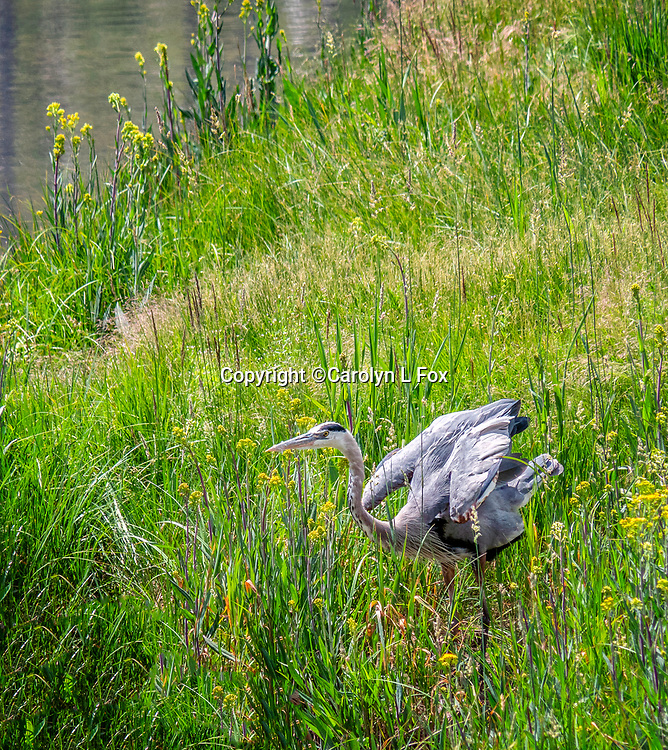 Blue Herons are a common site in Yellowstone.
