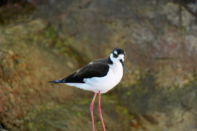 Black-necked Stilt. Arizona-Sonora Desert Museum. Arizona