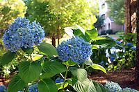 Stock photo: Gorgeous blue hydrangea flowers in community garden in Georgia USA.