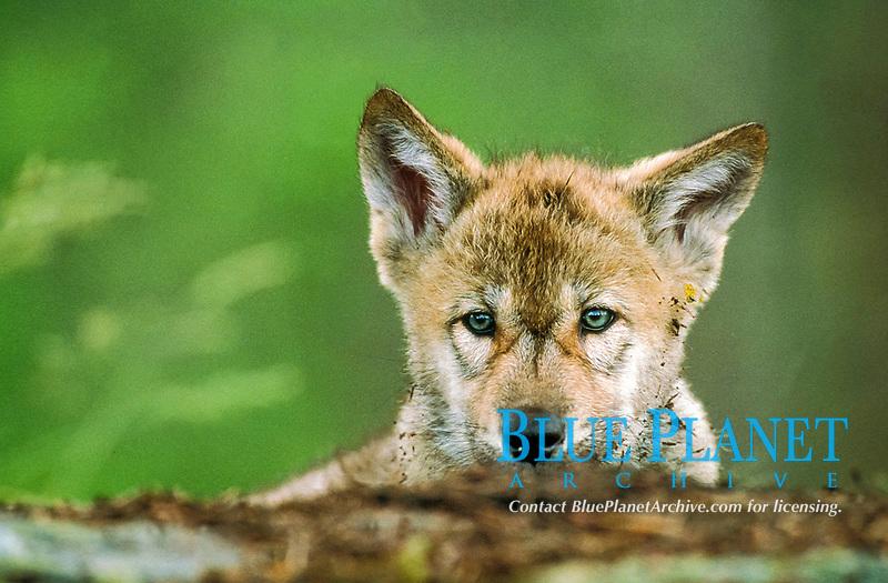 Eurasian wolf, Canis lupus lupus, pup, Europe