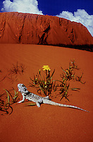 AYERS ROCKWITH SAND DUNE AND BEARDED DRAGON LIZARD