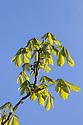 Horse Chestnut {Aesculus hippocastanum} leaves emerging from buds. Peak District National Park, Derbyshire, UK. MAy