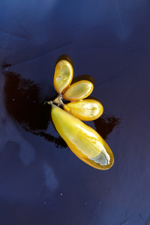 Giant kelp air bladders resting on bull kelp frond, Salt Creek Recreation Area, Clallam County, Washington, USA