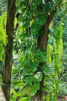 Rainforest jungle vines, leaves and trees, Kaua'i.