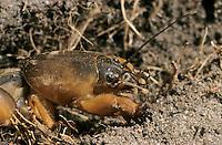 Europäische Maulwurfsgrille, Gemeine Maulwurfsgrille, Gryllotalpa gryllotalpa, European mole cricket, mole cricket, Maulwurfsgrillen, Gryllotalpidae, mole crickets