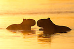 Two capybara are silhouetted in the golden light of the rising sun in the Pantanal, Mato Grosso, Brazil.