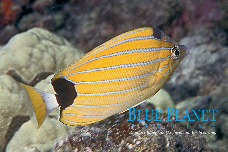 bluestripe butterflyfish, Chaetodon fremblii, endemic to Hawaii, Kealakekua, Big Island, Hawaii, Pacific Ocean