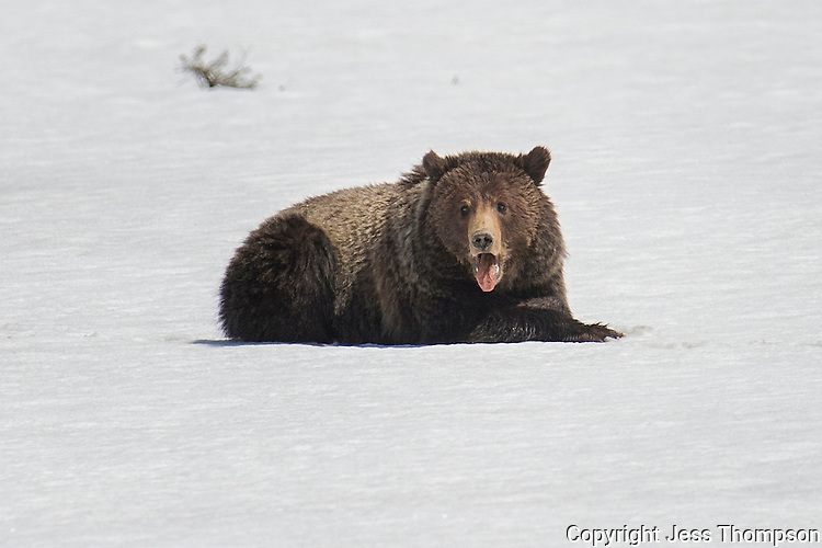 Grizzly Bear at Mud Volcano, Yellowstone National Park