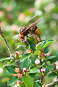 European hornet (Vespa crabro), early May.