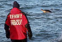Director of the International Fund for Animal Welfare's Emergency Relief Program, Ian Robinson, watches as a common dolphin swims off after being released back into Cape Cod Bay at Scusset Beach in Sagamore Beach, MA.