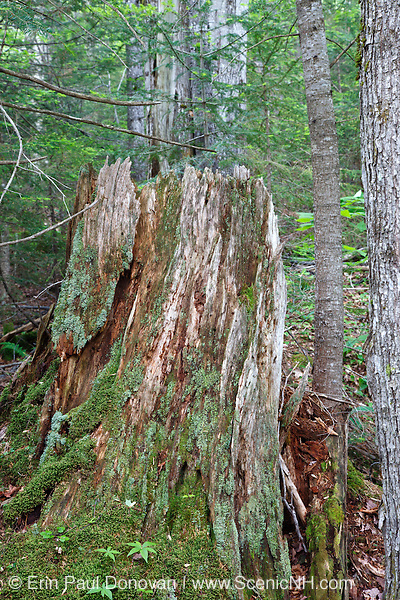 Decaying tree stump along the Hancock Branch of the old East Branch & Lincoln Railroad in the White Mountains, New Hampshire USA. This area was logged during the East Branch & Lincoln era, which was an logging railroad in operation from 1893 - 1948