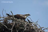 1205-1001  Osprey Sitting On and Caring for its Nest (Sea Hawk), Pandion haliaetus  © David Kuhn/Dwight Kuhn Photography