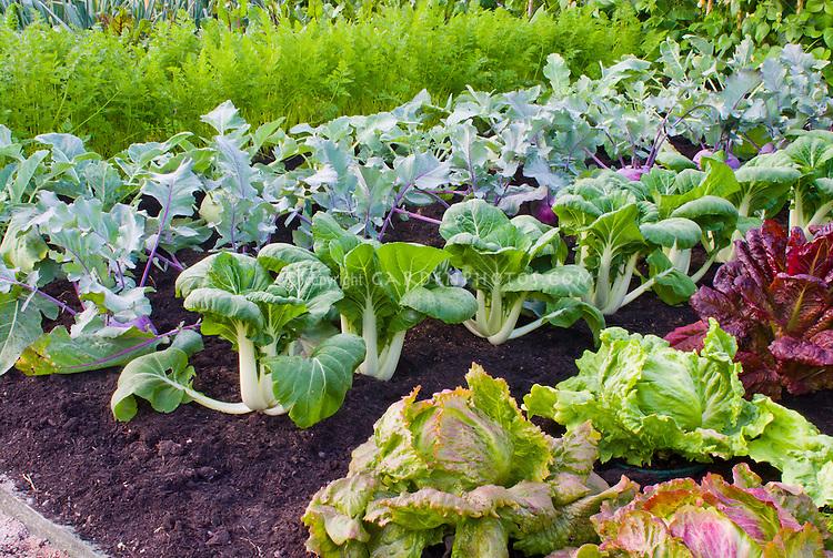 Lettuce, bok choi, kohlrabi, carrots, beans, growing mixed vegetables in the farm garden