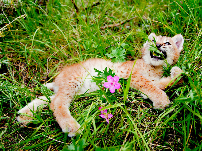 Lynx kitten biting grass stem while laying in meadow, with wild geranium blossom