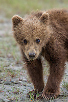 Alaska_Bear Photo Cubs playing,grizzly, Grizzly Bear or brown bear alaska Alaska Brown bears also known as Costal Grizzlies or grizzly bears Grizzly Bear Photos, Alaska Brown Bear with cubs. Purchase grizzly bear fine art limited edition prints here Grizzly Bear Photo Bear Photos,