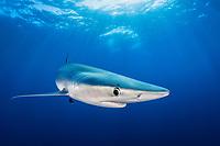 blue shark (Prionace glauca), Pico Island, Azores, Portugal, Atlantic Ocean