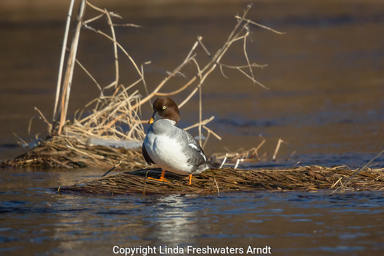 Female common goldeneye standing on some marshy grass on the Chippewa River in northern Wisconsin.