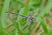 334060002 a wild female oklahoma clubtail gomphus oklahomensis perches on wild grass stems while feeding on a damselfly in the sam houston national forest in san jacinto county in east texas