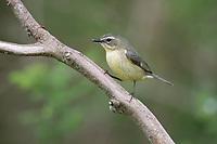 Black-throated Blue Warbler (Setophaga caerulescens caerulescens), female in breeding plumage foraging during migration at Doodletown, Bear Mountain State Park, New York.