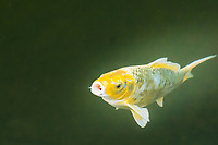 A yellow and white koi swims and then rises to poke its mouth through the surface.  What might it be saying?