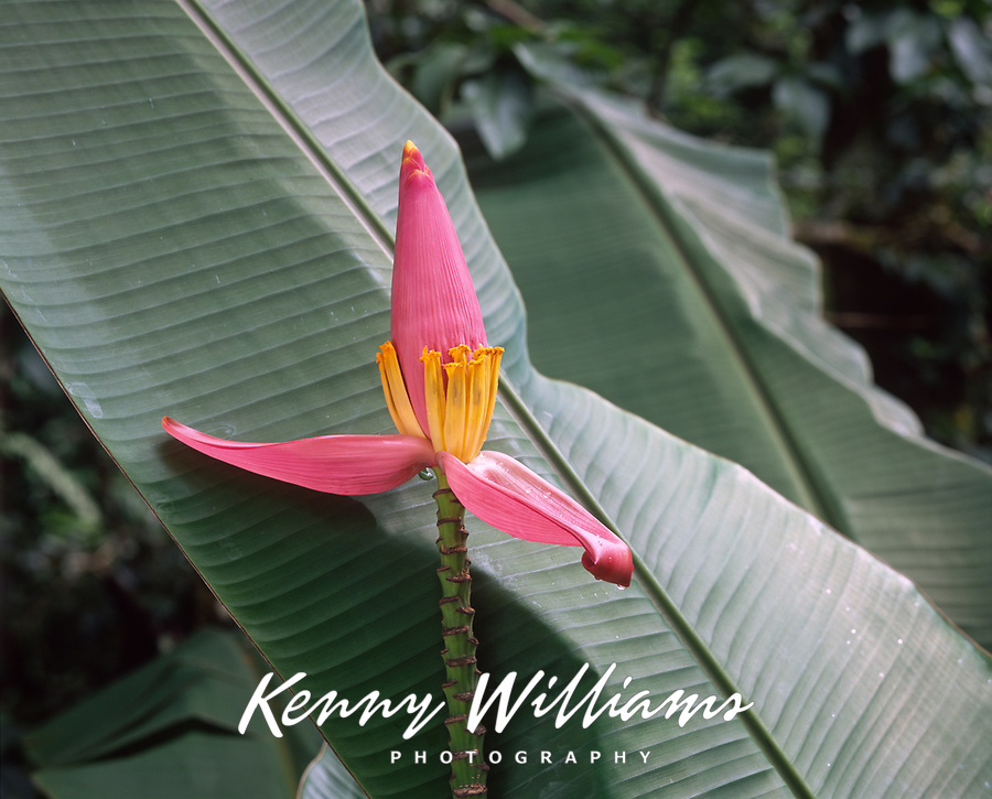 Banana Flower, Tropical Plants, Hawaii, USA.