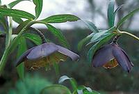 Helleborus torquatus