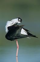 Black-necked Stilt, Himantopus mexicanus,adult preening, Lake Corpus Christi, Texas, USA, May 2003
