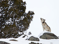 """On the final day of my trip, my client and I were fortunate to see 693F and 778M (""""Big Brown""""), the alphas of the Blacktail Pack, at close range."""