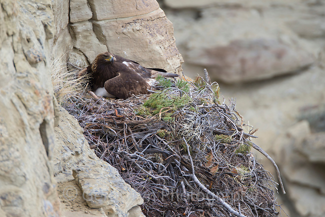 Adult Golden Eagle brooding a chick on its nest. Sublette County, Wyoming. May.