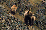 A Grizzly Bear Sow and her cub walk down a rocky slope in Denali National Park, Alaska.