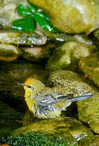 Blue winged warbler bathing