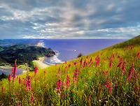 View from Cascade Head with foxglove. Oregon.