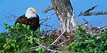 Bald eagle on nest, Orcas Island, Washington