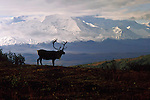 A male caribou stands silhouetted against the Alaskan range in Denali National Park, Alaska.