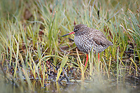 Common Redshank (Tringa totanus). Varanger Peninsula, Norway. June.