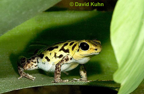 1014-07pp  Dendrobates pumilio ñ Strawberry Poison Arrow Frog ñ Strawberry Poison Dart Frog  © David Kuhn/Dwight Kuhn Photography