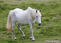 0603-0904  Wild Ocracoke Pony, Wild Bankers Pony, Outer Banks at Okracoke Island in North Carolina  © David Kuhn/Dwight Kuhn Photography