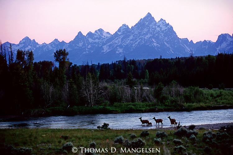Elk and their calves cross the Buffalo Fork River Below the Teton Range in Grand Teton National Park, Wyoming.