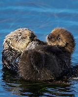 Southern Sea Otter mom with young pup resting on her chest/tummy.  Central California.