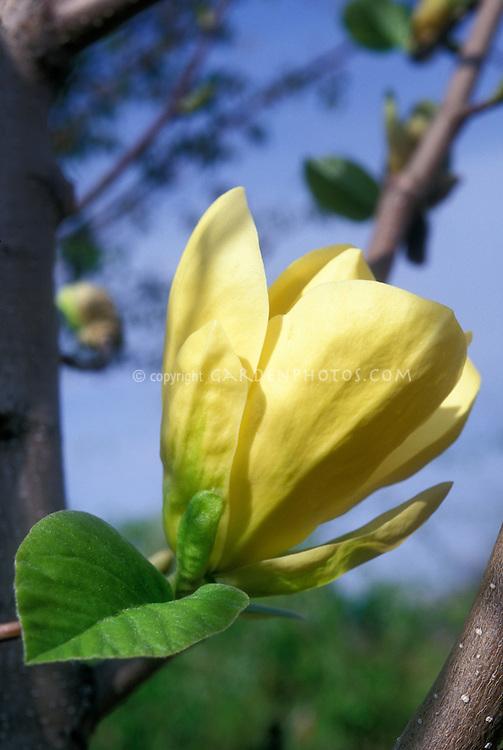 Magnolia 'Butterflies' yellow flowers in spring with blue sky, macro of bloom, hybrid of M. M. acuminata x M. denudata