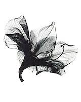 Xray amaryllis blossom