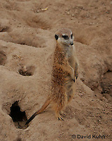 0215-08pp  Standing Meerkat on Lookout, Suricata suricatta © David Kuhn/Dwight Kuhn Photography