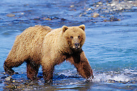 Aggressive Grizzly Bear walking along river.  Alaska.