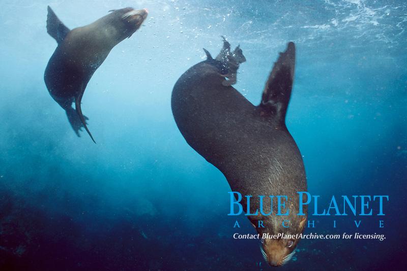 Galapagos fur seals, Arctocephalus galapagoensis, Galapagos Islands, Ecuador, East Pacific Ocean