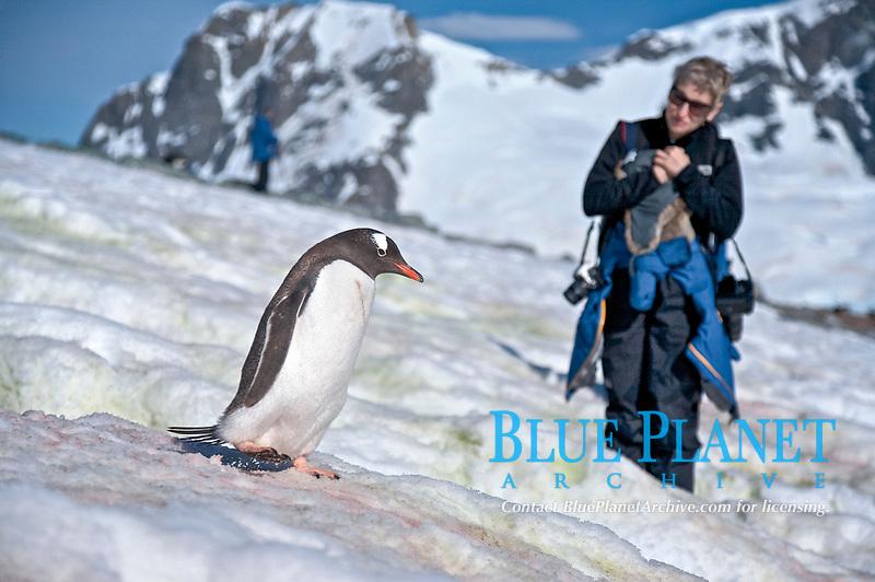 "Gentoo penguins (Pygoscelis papua) following ""penguin highways"" on Danco Island in Antarctica"