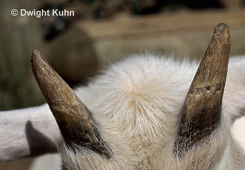 SH05-008a  Goat - close-up of horns
