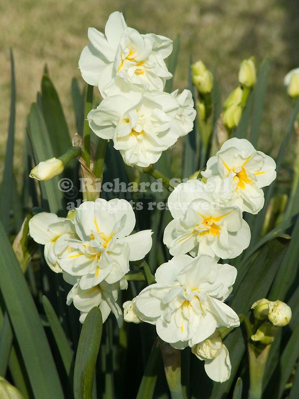 Sir Winston Churchill Daffodils, Narcissus hybrid
